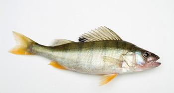 Il pesce Persico